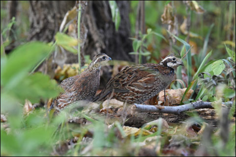 Newly released quail from box 9 12