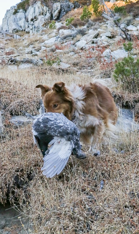 Blue grouse retrieve